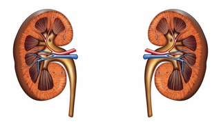 Anatomical drawing of a kidney